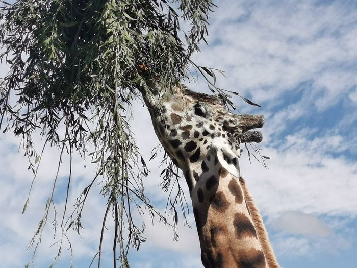 Low angle view of giraffe eating plant