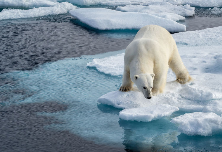 Polar bear standing on frozen sea