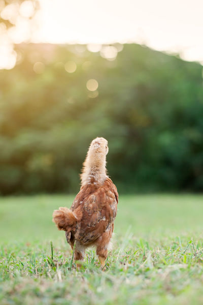 Young Rhode Island red free range chick looking away in a field at sunset Chicken Farm Field Grass Looking Away Rear View Animal Themes Animals Bird Chicken - Bird Close-up Day Domestic Animals Field Free Range Grass Livestock Mammal Nature No People One Animal Outdoors Rhode Island Red Rooster Sunset