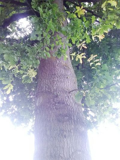 Oak Tree from