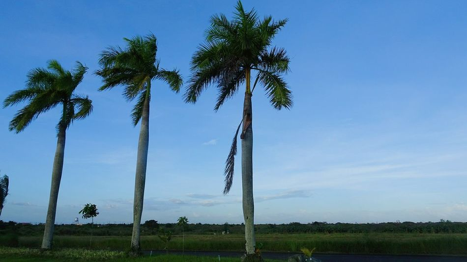 Nature Tree Trunk Outdoors Sky Nature Landscape Tree Day Palm Leaves Freshness Palm Trees Clear Sky Grass Beauty In Nature Greens Scenics Postcard Palm Tree Environmental Conservation No People
