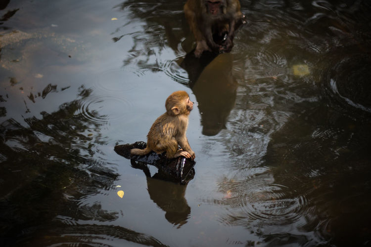High Angle View Of Monkey And Infant Sitting On Driftwood In Lake
