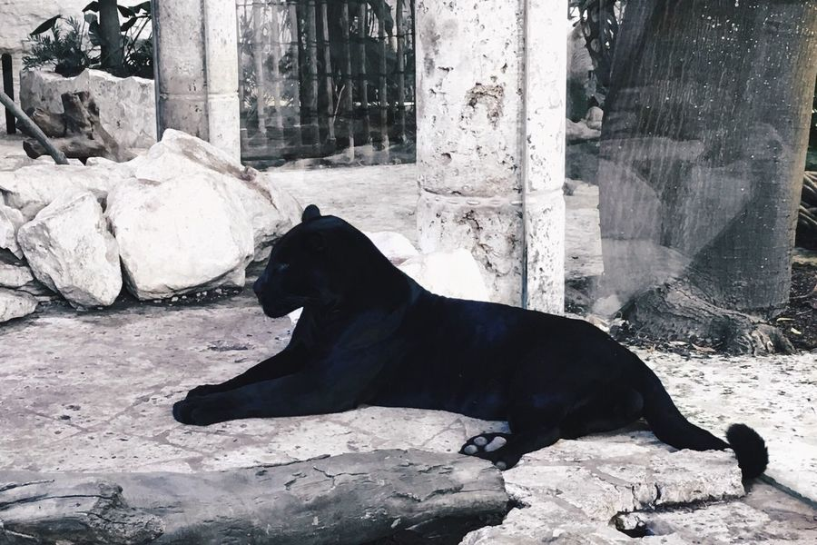 One Animal Animal Themes Mammal Animals In The Wild Black Color Animal Wildlife Nature No People Day Outdoors Sea Lion Panther Blackandwhite Clean Zoo Zoo Animals  EyeEmNewHere EyeEm
