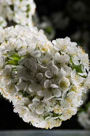 Sour Cherry Beauty In Nature Blooming Blossom Close-up Flash Photography Flashlight Flower Flower Head Fragility Freshness Growth Nature No People Outdoors Petal Sour Cherry Blossomed Branch Sour Cherry Blossoms Sourcherry Sourcherry Flowers White Color