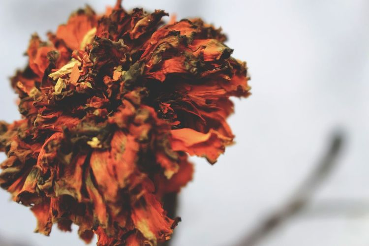 Floral Ore II Flower Head Flower Tree Red Close-up Sky Wilted Plant Botany Dead Plant Dried Dried Plant Dry Thistle Wilted Plant Life