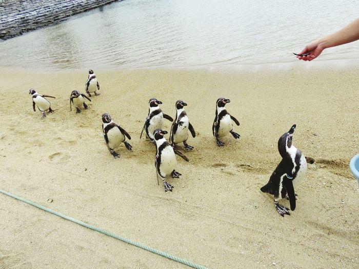 Bird Animal Themes Outdoors Water Day Sand Large Group Of Animals Beach Japan Nagasaki 長崎 Penguin Penguins Aquarium Aqua Pengin Suizokukan