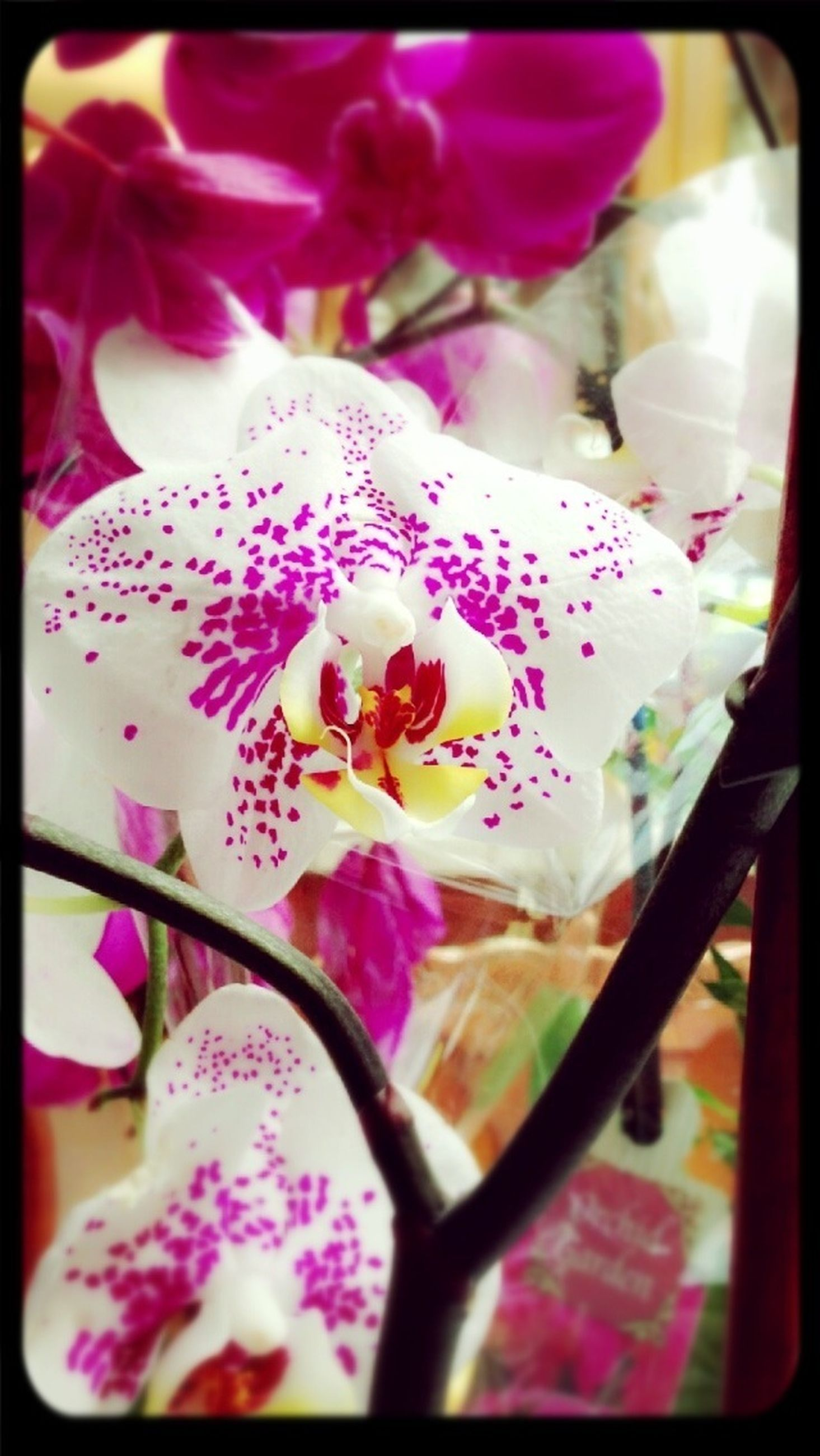 flower, transfer print, petal, flower head, fragility, auto post production filter, freshness, indoors, close-up, beauty in nature, focus on foreground, pink color, selective focus, nature, blooming, growth, plant, in bloom, blossom, vase