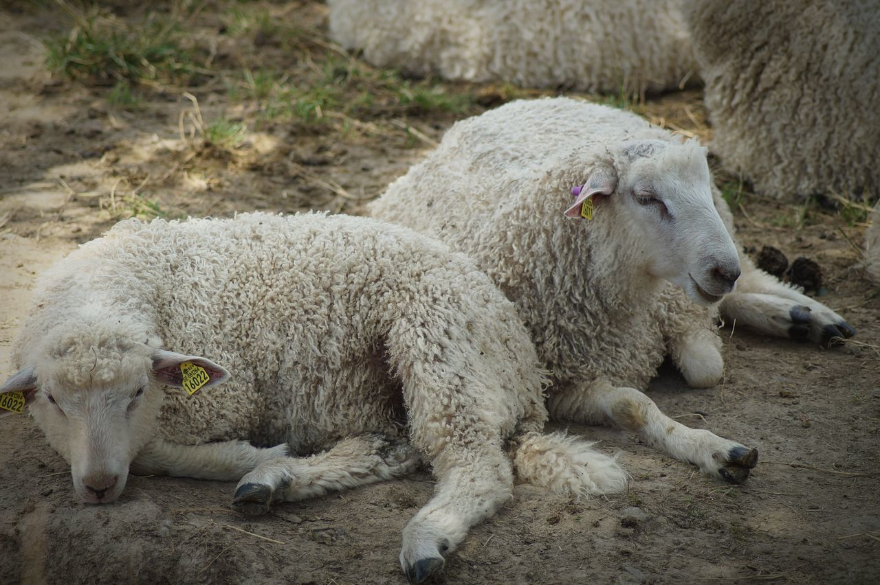 animal themes, domestic animals, mammal, livestock, day, one animal, no people, sheep, relaxation, lamb, outdoors, nature, close-up