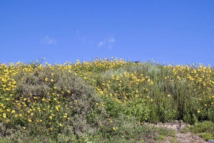 field of yellow wildflowers against blue sky Plant Sky Growth Beauty In Nature Tranquility Yellow Flower Flowering Plant Field Tranquil Scene No People Land Nature Landscape Scenics - Nature Day Freshness Environment Blue Green Color Outdoors Yellow Flowers Wildflower Blue Sky