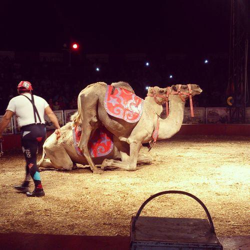 Circo Camello