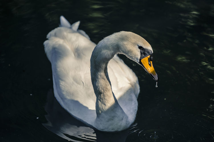 Portrait of a swan Animal Animals In The Wild Animal Wildlife Animal Themes Bird Focus On Foreground Lake Outdoors Swan Swimming Water Water Bird Wildlife White Swan Lakeside Swimming Animal Lakeshore