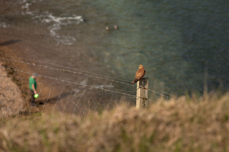 A female common kestrel (Falco tinnunculus) sat on top of a wooden fence post looking down on a South England coastal beach. Beach Coast Eurasian Kestrel European Kestrel Falco Tinnunculus Old World Kestrel Barbed Wire Bird Of Pray Cliff Side Common Kestrel Falcon Female Fence Fence Post Gliding Hunting In Flight Kestrel Look Out Perched Sea TakeOff Watching Wings Spread Real People One Person Nature Plant Day Lifestyles Selective Focus Land Outdoors Men Full Length Standing Grass Adult Walking Growth Leisure Activity Side View Water