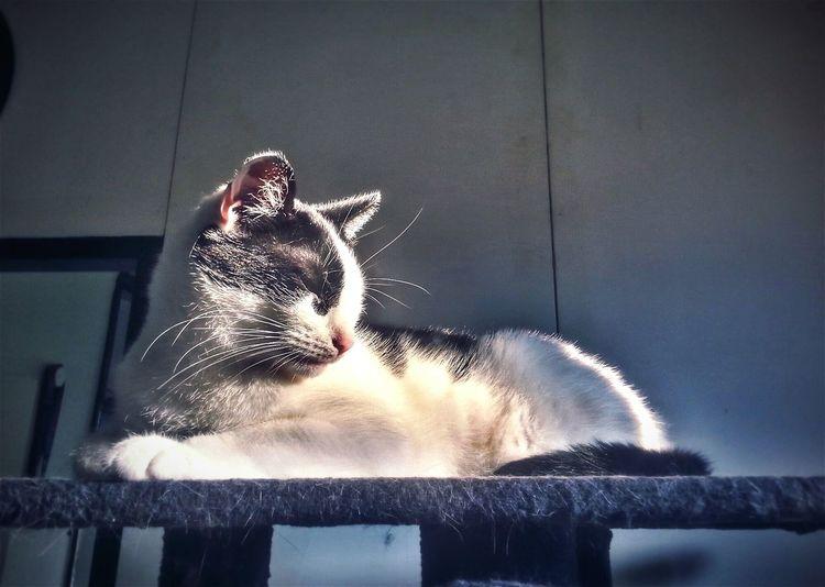 Charly Cat Pet