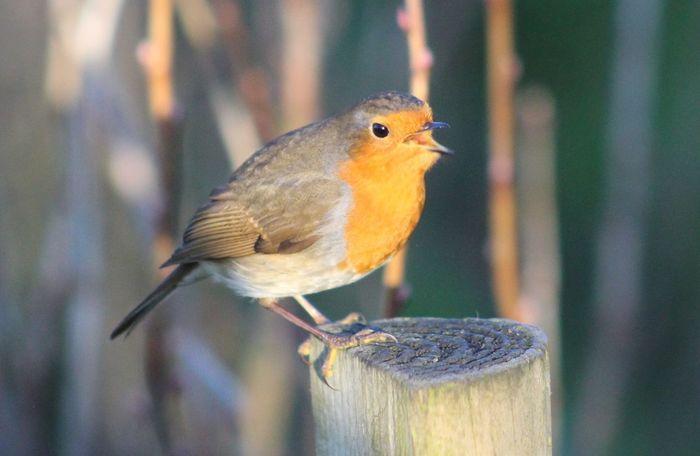 Bird Bird Singing Close-up No People One Animal Outdoors Robin Thank You