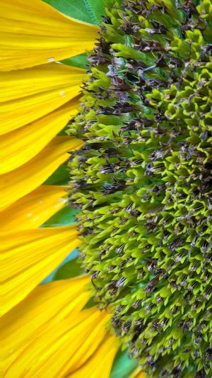 Sunflower Helianthus Giant Sunflower Helianthus Annuus Ray Flower Yellow Petal Green Color Florets Disc Flower Tubular Flowers Flower Head Sunflower Head Fragility Backgrounds Full Frame Pattern Close-up Springtime Freshness Beauty In Nature No People Outdoors Day November 2017 —