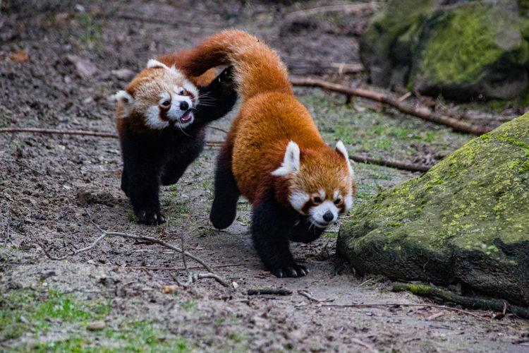 pandas Panda