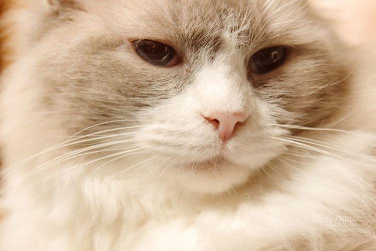 Paw Persian Cat