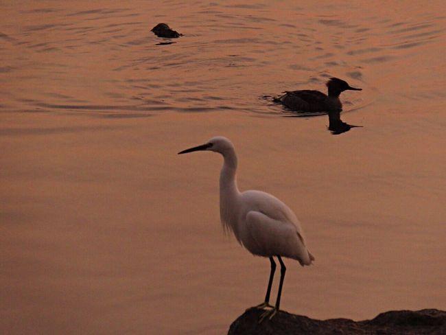 Bird Birds Bird Photography Birdwatching Birds_collection Birds Of EyeEm  Birds🐦⛅ Bird Watching Heron Duck Evening Evening Sea Enjoying The Sun