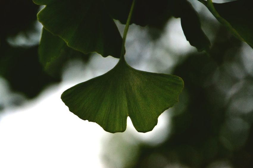 Just a random ginko tree Tree_collection  Taking Photos The Moment - 2015 EyeEm Awards EyeEm Nature Lover EyeEm Best Shots OpenEdit Nature_collection Nature On Your Doorstep