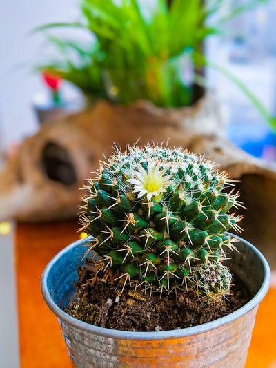 #flower #cactus