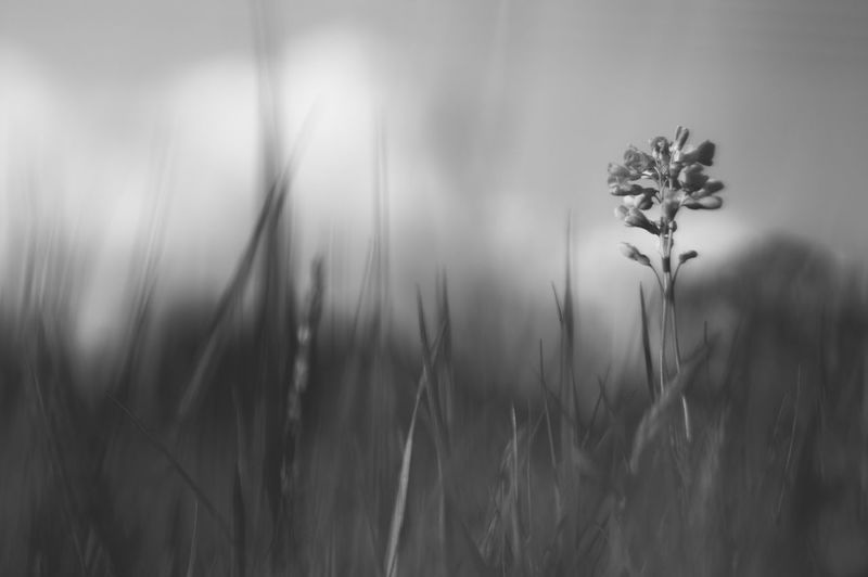 cardamine: auffallend Lady's Smock Beauty In Nature Black And White Cuckoo Flower Cuckooflower Field Flowers Grass Growth Idyllic Meadow Meadow Flowers Nature Nature Black&white Plant Selective Focus Simplicity Tranquil Scene Tranquility