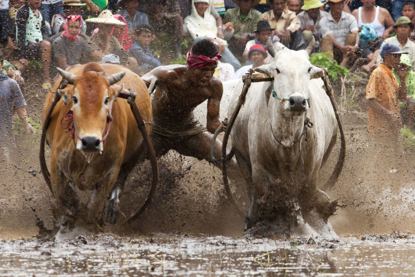 Cow Race INDONESIA Pacu Jawi Animal Themes Cow Cultures Cute Day Domestic Animals Livestock Mammal Nature No People Outdoors Water
