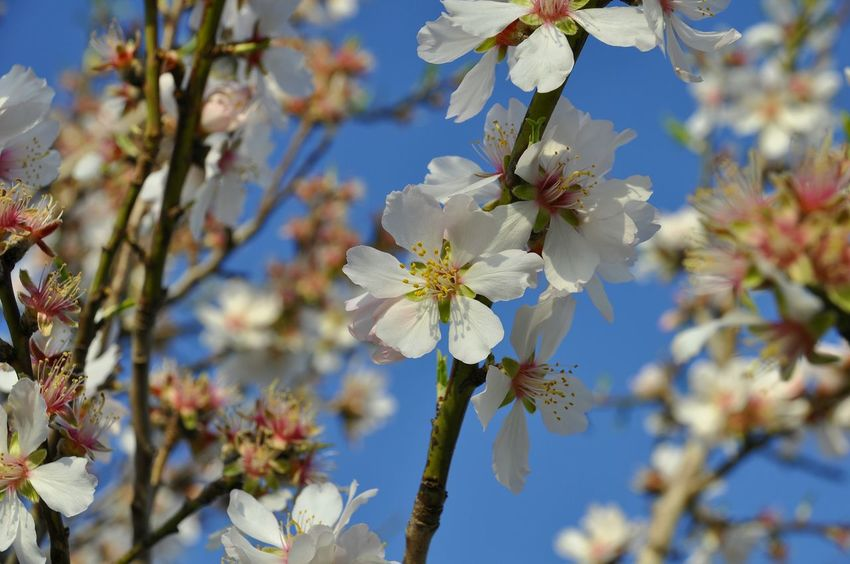 Flower Nature Beauty In Nature Growth Tree Blue Blossom No People Branch Close-up Springtime Sky Fragility Flower Head Day Almond Tree Outdoors Freshness Almond Blossom Almond Flowers Flowering Almond Tree Plum Blossom Spring Flowers Almond Tree Freshness