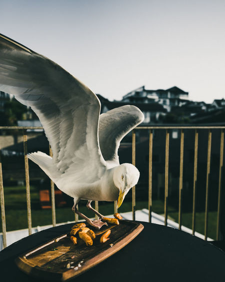 Close-up of seagull perching by food on table