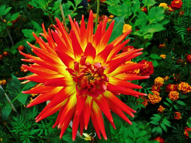 Dahlien-Blüte Dahlia Flowers DahliaGarden EyeEm Nature Lover Garden Flowers Beauty In Nature Blooming Close-up Dahlien Flower Flower Head Freshness Growth Nature No People Outdoors Petal Plant