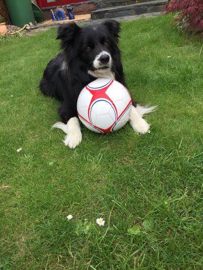 Dog Canine Grass One Animal Pets Domestic Animals Domestic Ball Sport Animal Themes