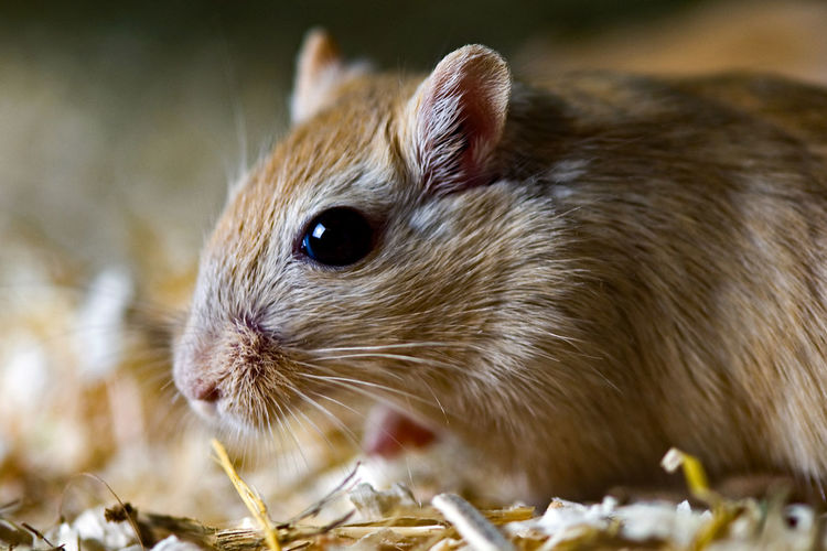 Mouse🐹 Close-up Day Domestic Animals Indoors  Mammal No People One Animal Rodent