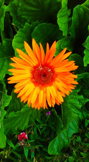 A blooming daisy Color Orange Daisies Daisy Flower Flowers,Plants & Garden Orange Daisy Flowers Blooming Close-up Daises Close Up Daisies Are My Favorite Day Flower Flowers Flowers Collection  Freshness Green Color Growth Leaf Leaves Leaves_collection No People Orange Daisy Outdoors Petal Plant Vibrant Color