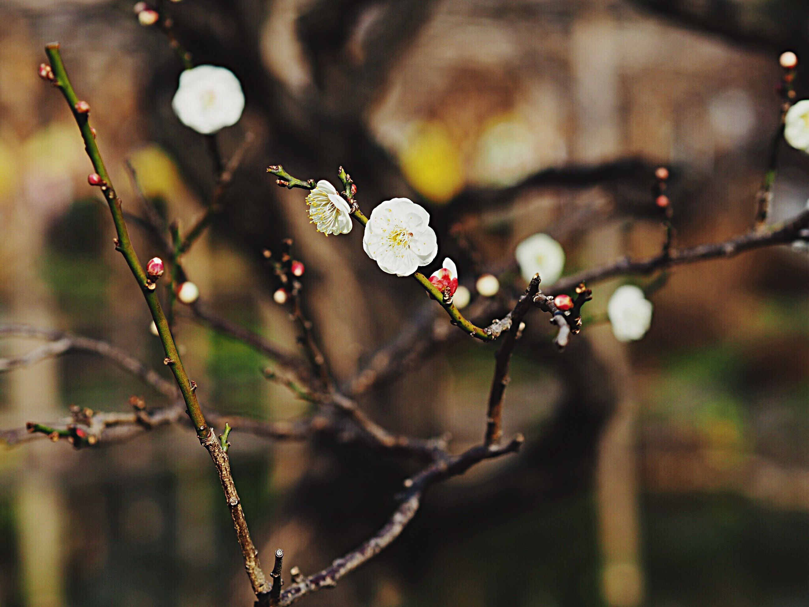 growth, nature, beauty in nature, plant, close-up, freshness, focus on foreground, outdoors, no people, flower, twig, fragility, tree, branch, day, flower head
