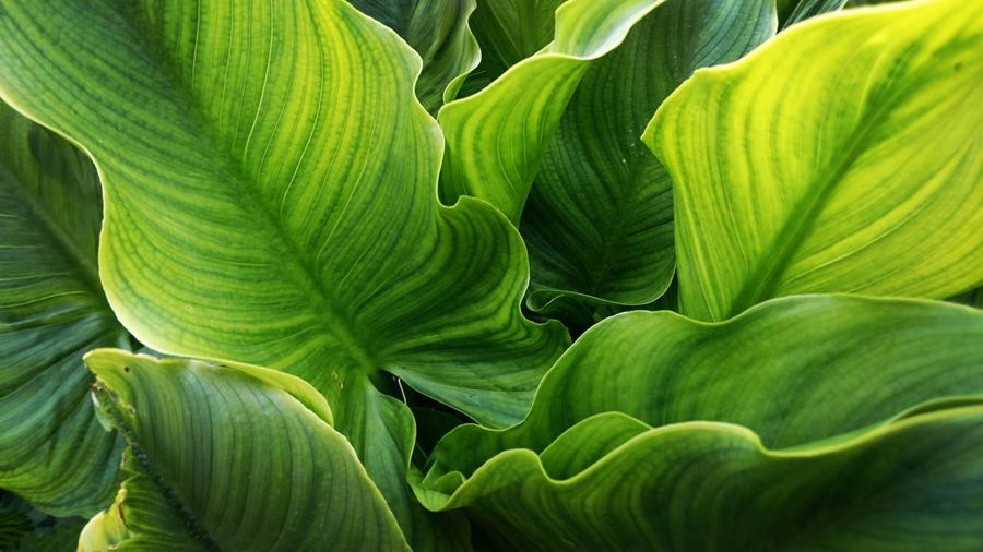 Plants Green Color Leaf Growth Nature Close-up Freshness No People Plant Part Open Edits Green Leaves EyeEm Best Shots Taking Photos The Great Outdoors EyeEm Nature Lover Feeling Creative Green Springtime Photography Lily Plant Surfaces And Textures Pattern Outdoors Backgrounds Beauty In Nature