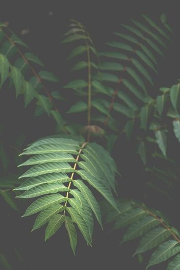 Leaf Green Color Agriculture Tropical Climate Nature Growth Plant Close-up No People Beauty In Nature Freshness Frond Outdoors Black Background Fragility Banana Tree Palm Tree Banana Leaf Beauty Food