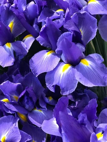 Flower Beauty In Nature Petal Fragility Plant Purple Close-up No People Iris