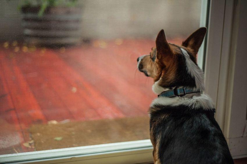 Frodo ready to take on the rain Dogs EyeEm Best Shots EyeEmBestPics Pets Corgi