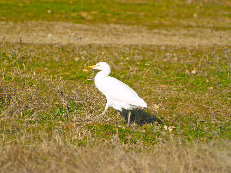 Animal Animal Themes Animal Wildlife Animals Animals In The Wild Biodiversity Bird Bird Photography Birds Bubulcus Bubulcus Ibis Cattle Egret Day Egret Environment Field Grass Great Egret Nature No People One Animal Outdoors Perching White Color