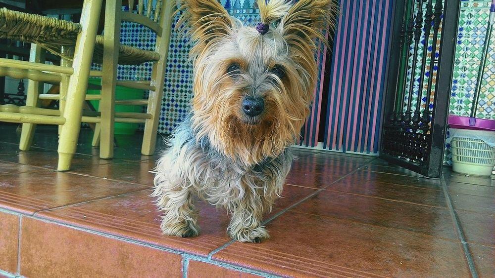 Lisa Yorkshire Little Dog My Little Puppy My Lovely Dog My Beautiful Dog Dog Love Dog Dog Lover Beautiful Dog