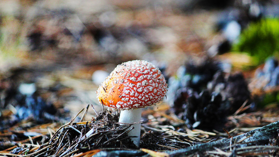 Close-Up Of Fly Agaric Mushroom Growing On Field