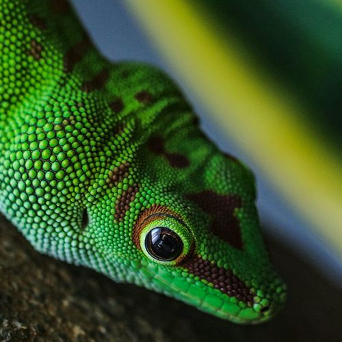 Close Up Of Alert Green Lizard
