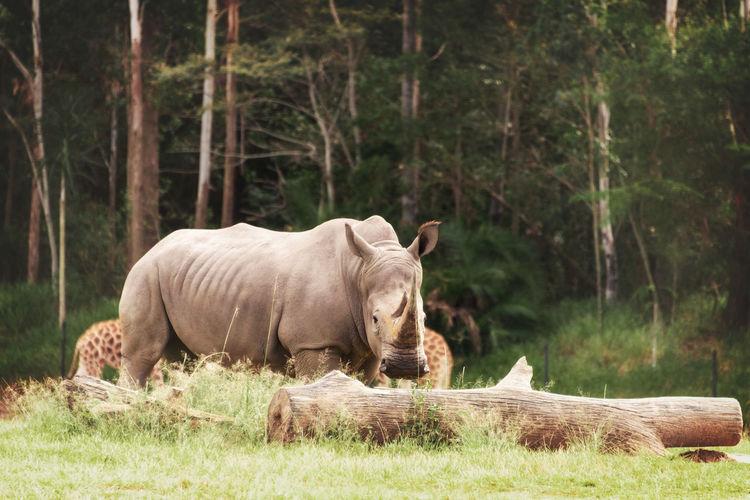 Hippo Hippopotamus Animal Themes Animal Wildlife Animals In The Wild Day Full Length Grass Mammal Nature No People One Animal Outdoors Tree