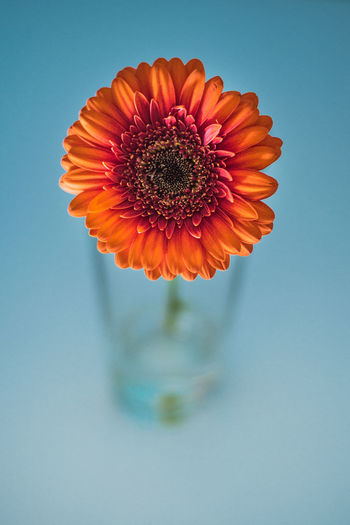 Close-up of orange flower vase over blue background