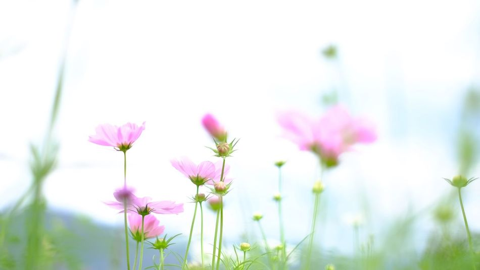 Flower Nature Fragility Beauty In Nature Growth Freshness Pink Color Blooming Cosmos Flower Outdoors Flower Head Plant Petal Day Focus On Foreground Close-up No People