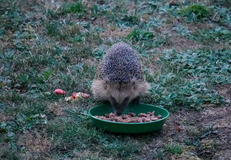 Fressnapf Igel Im Garten Animal Animal Themes Animal Wildlife Animals In The Wild Close-up Day Field Grass Hedgehog High Angle View Land Mammal Nature No People One Animal Outdoors Plant Plant Part Rodent Vertebrate