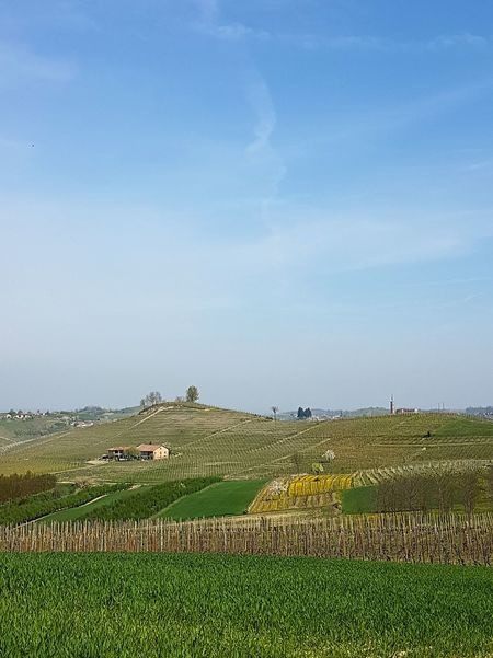 Agriculture Crop  Landscape Farm Field No People Rural Scene Growth Nature SkyTranquility Freshness Beauty In Nature Scenics Green And Yellow Colour Green Color Spring Blooms Vineyard outdoors Day Piedmont Italy Langhe Clear Sky Sunlight