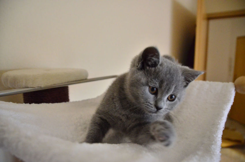 Animal Themes Blue Blue Grey British Shorthair Cat Close-up Day Domestic Animals Domestic Cat Feline Home Interior Indoors  Kitten Mammal No People One Animal Pets Playing W-holly Whisker