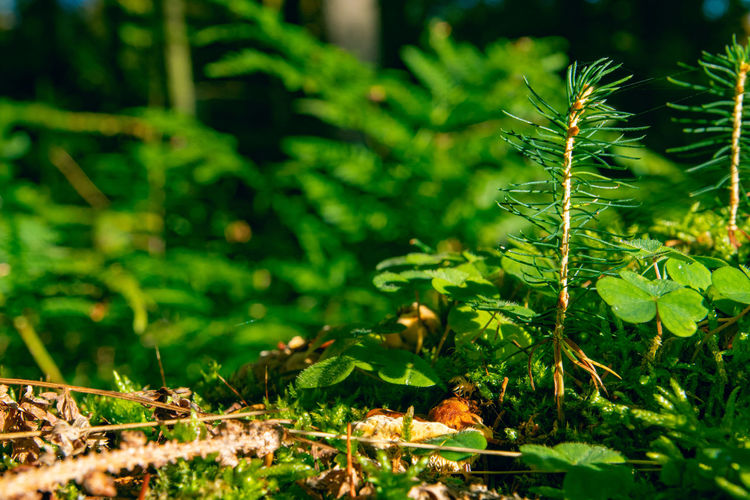 Plant Green Color Growth Leaf Plant Part Nature Beauty In Nature Tree No People Selective Focus Close-up Outdoors Tranquility Forest Clovers  Sapling Coniferous Tree Moss Sunlight Forest Floor