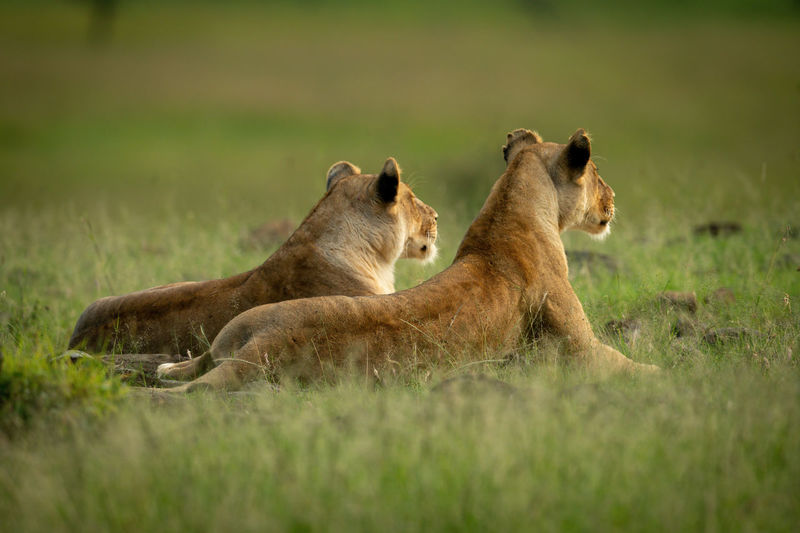 Two lionesses lie facing away from camera