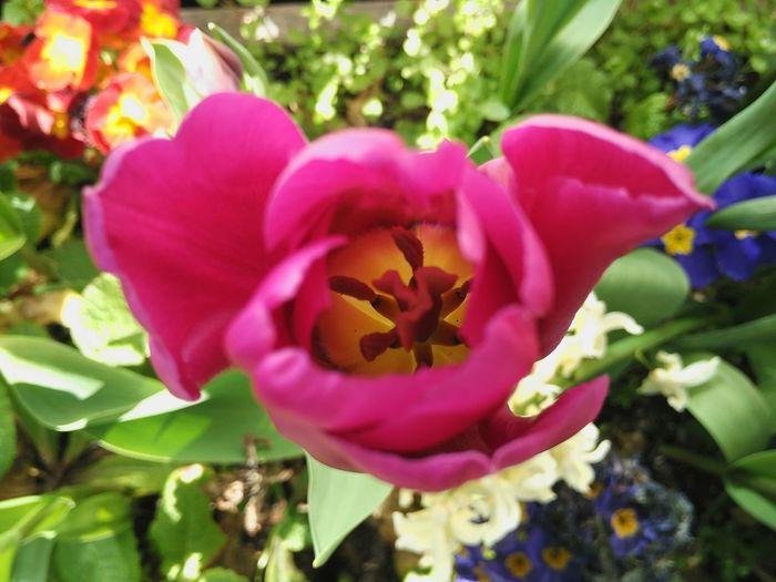 🌷 Tulip